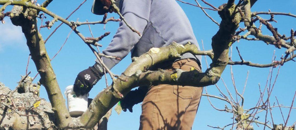 Ein Fachberater behandelt die Schnittstellen des Obstbaumes mit Wundverschluss.