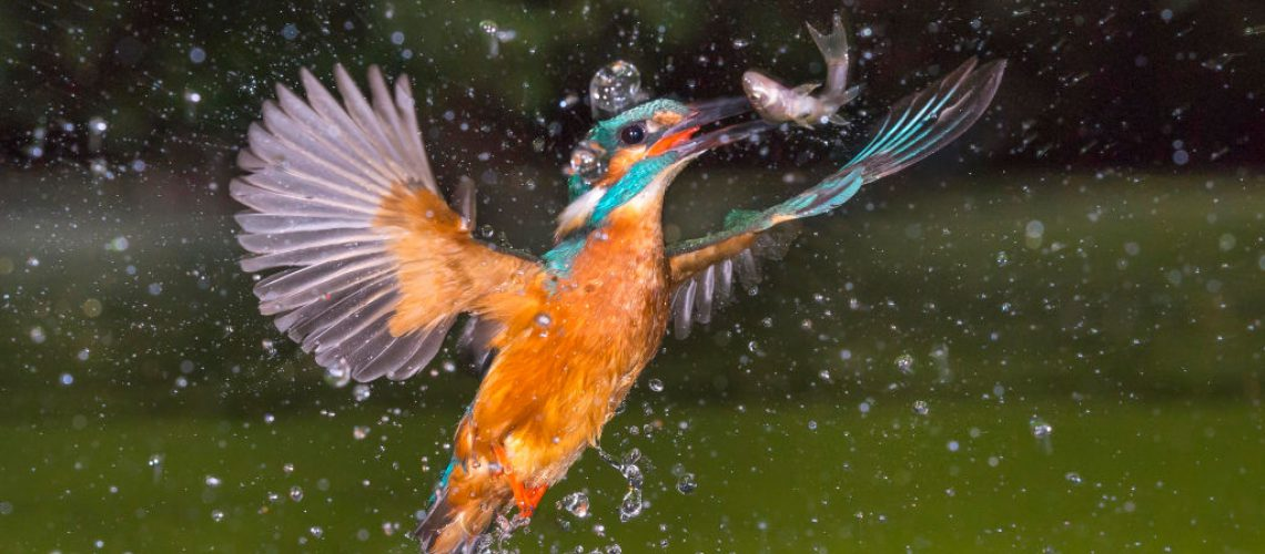 Ein Eisvogel beim Jagen - Foto: NABU/Willi Rolfes
