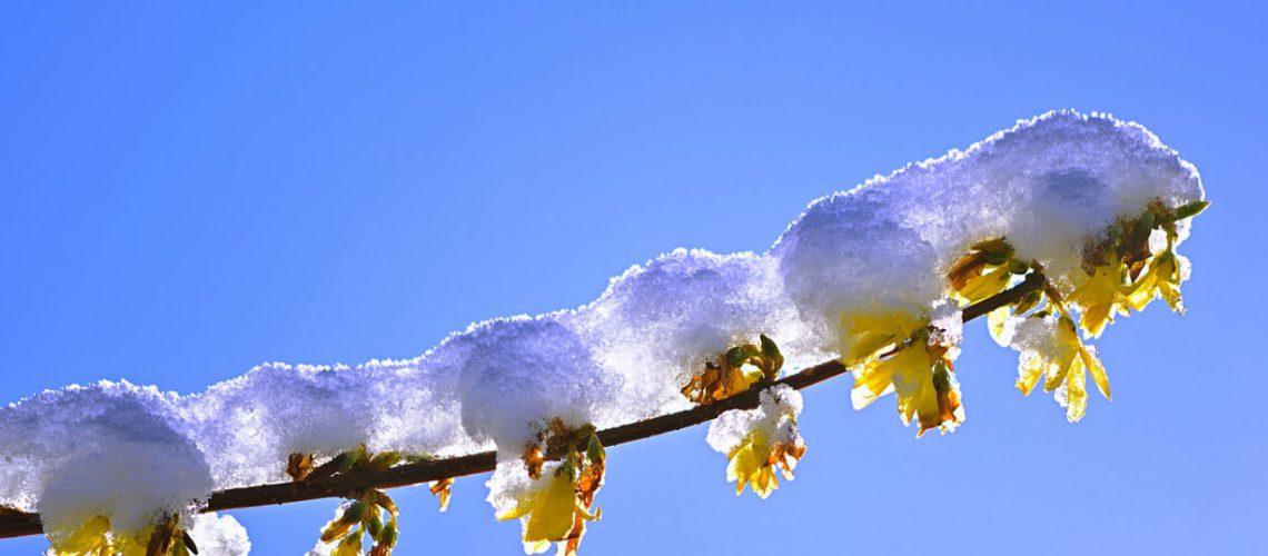 Wenn die Forsythie blüht, ist das ein sicheres Zeichen dafür, dass der Frühling einsetzt.  Bild von jggrz auf Pixabay