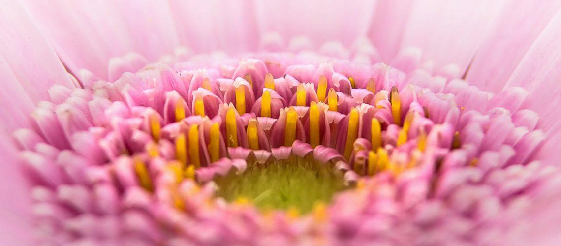 Die Gerbera wird immer gern an Valentinstag verschenkt. Bild von Foto-Rabe auf Pixabay