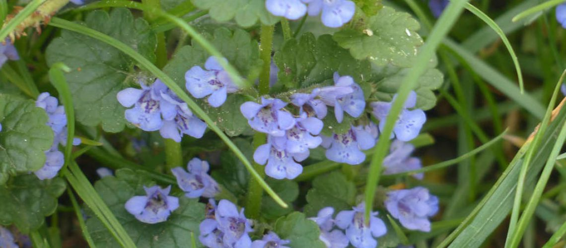 ground-ivy-116261_1280(1)