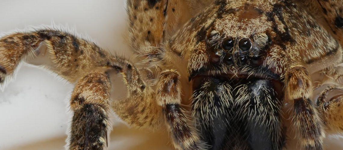 Die Nosferatu-Spinne wurde nun erstmalig in Leipzig nachgewiesen. Foto von Robert Klesser, Naturkundemuseum Leipzig