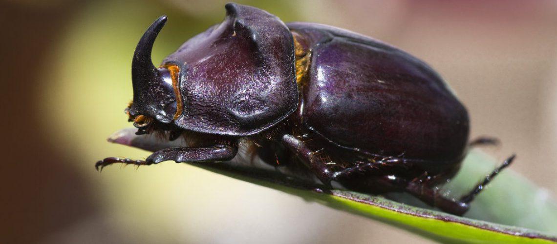 das Männchen des Nashornkäfers trägt ein charakteristiches Horn.   Bild von Daniel Wanke auf Pixabay