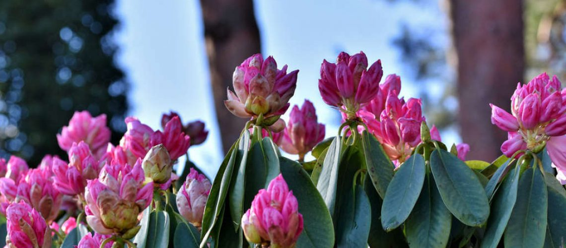 rhododendron-4945988_1280 (1)